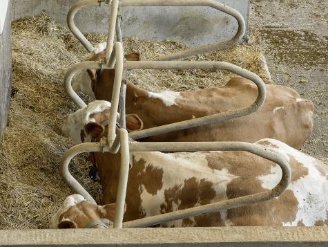 Kühe. Futterzusammenstellung. Lernbauernhof Hof Hirschweiden
